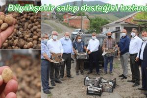 Tekkeköy'de İlk Salep Dikimi Gerçekleştirildi