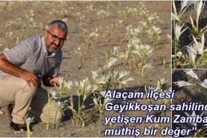 Alaçam'da Yetişen Kum Zambaklarının Öneminin Farkında Değilliz