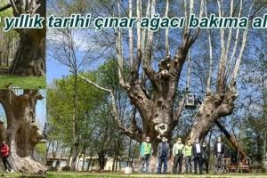 1100 Yıllık Çınar Ağacının Bulunduğu Alan Turizme Kazandırılacak