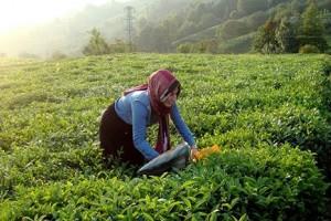 Organik Çay Alanları 5 Yılda 10 Kat Arttı