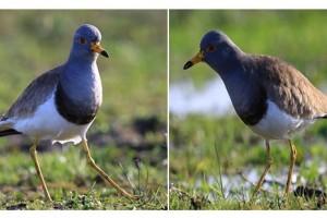Samsun'da Yeni Bir Kuş Türü Tespit Edildi